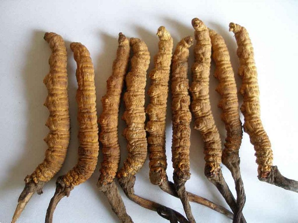 Đông trùng hạ thảo nguyên con có nhiều chất bổ dưỡng tốt cho cơ thể
