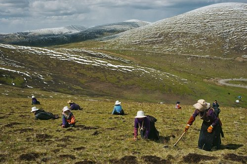 Đông trùng hạ thảo nguyên con ở cao nguyên Tây Tạng