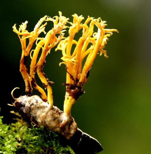 Đông trùng hạ thảo tự nhiên