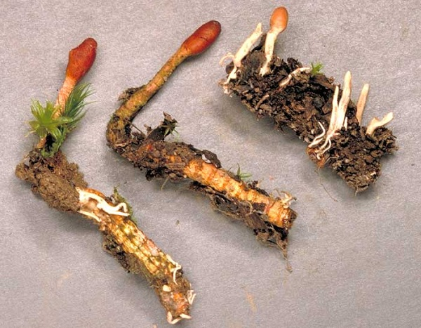Con đông trùng hạ thảo tự nhiên