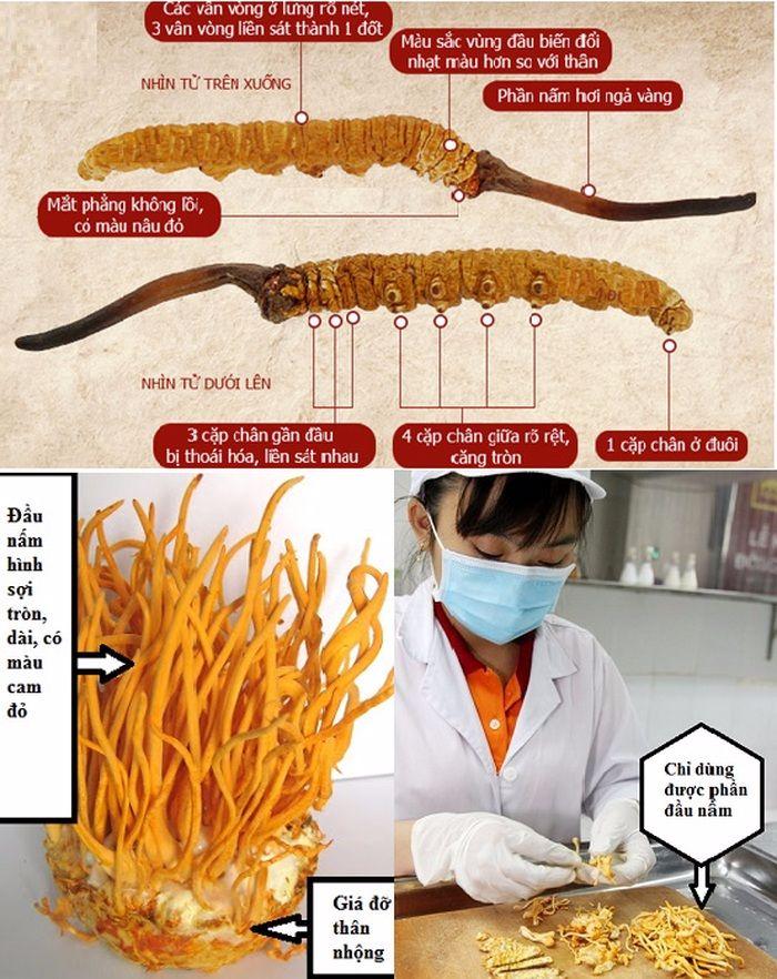 Đông trùng hạ thảo tự nhiên và nhân tạo khác biệt về đặc điểm hình dạng