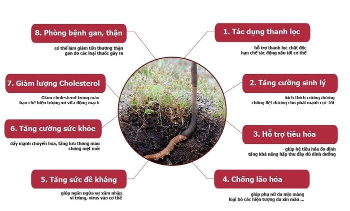 Một số công dụng chính của hoa đông trùng hạ thảo