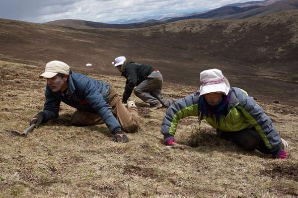 Quá trình tìm kiếm đông trùng hạ thảo Tây Tạng