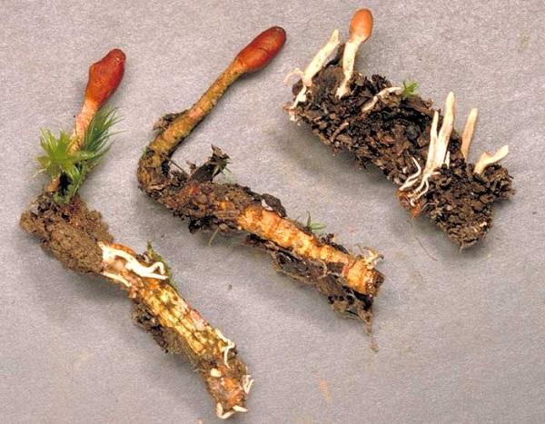 Đông trùng hạ thảo sinh trưởng tự nhiên
