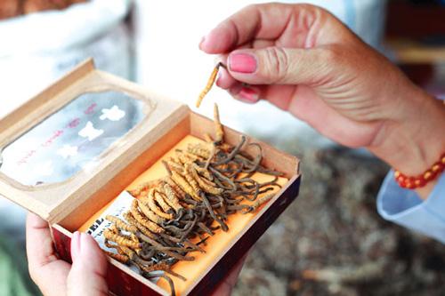 Mua đông trùng hạ thảo dạng viên tại Hà Nội